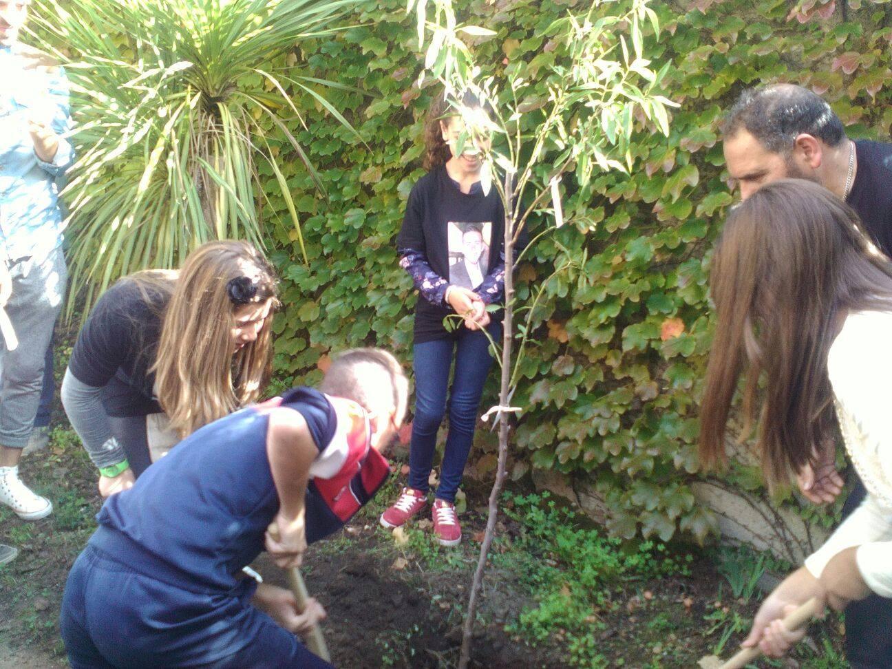 L'ulivo piantato nel cortile della scuola media
