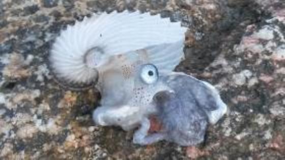 L'esemplare di argonauta ritrovato sulla spiaggia di Briatico