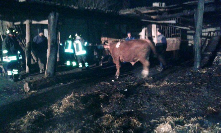 Incendio distrugge capannone agricolo, venti bovini salvati dai Vigili del fuoco – IMMAGINI