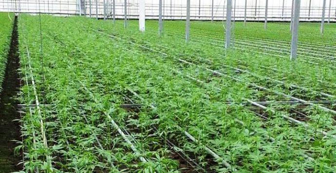 """La cannabis per uso alimentare è """"made in Pizzo"""""""