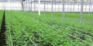 La coltivazione di cannabis nel vivaio napitino