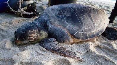 Tartaruga marina moribonda a Ricadi, ennesimo rinvenimento