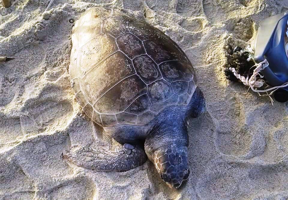 La tartaruga ritrovata in spiaggia
