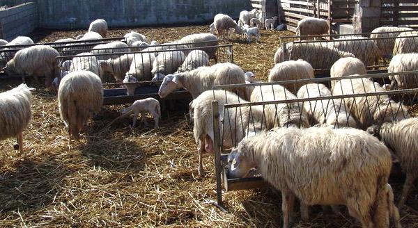 Un allevamento di ovini