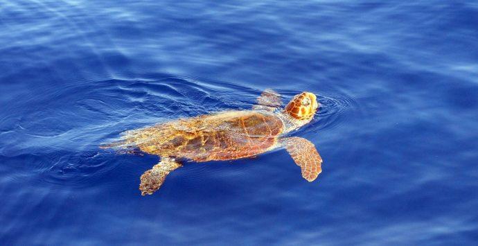 VIDEO | Briatico, 'Caretta-Caretta' salvata in mare