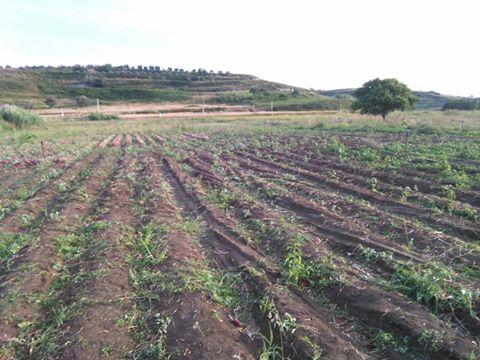 """""""Caro acqua"""" nei campi di cipolla, Coldiretti e Cia dalla parte degli agricoltori"""