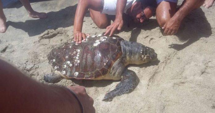 La tartaruga ritrovata in spiaggia a Ricadi
