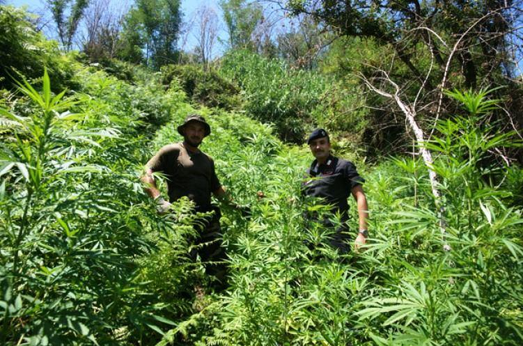 Vazzano, ritrovate 90 piante di canapa indiana in un terreno abbandonato