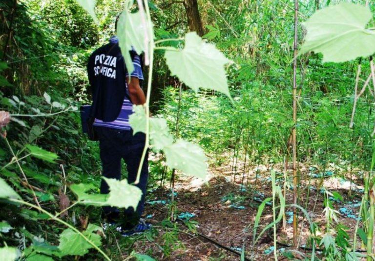 Maxi-piantagione di cannabis sequestrata tra Vibonese e Reggino