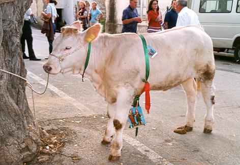 Un vitello messo in palio a Brattirò negli scorsi anni