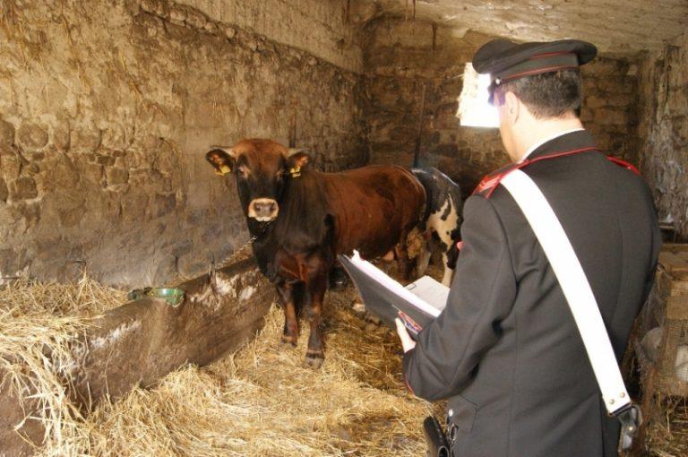 Cinque bovini di provenienza ignota abbattuti a Fabrizia