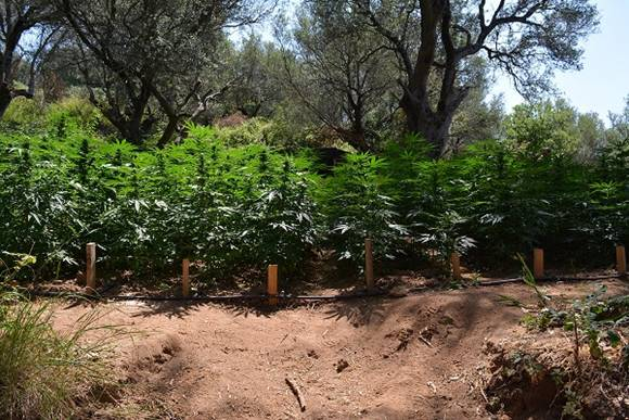 Diecimila piante di marijuana scoperte nel Vibonese: due arresti