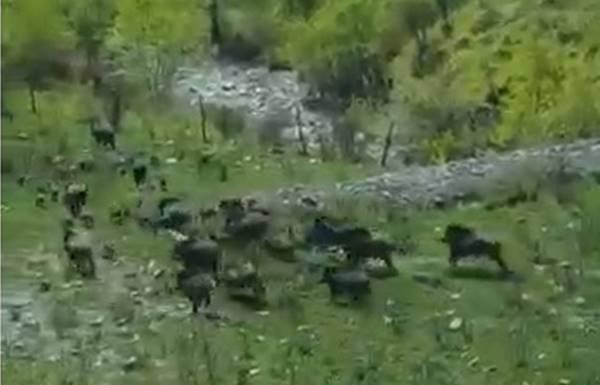 È invasione di cinghiali nel Vibonese, maxi-branco filmato in pieno giorno (VIDEO)