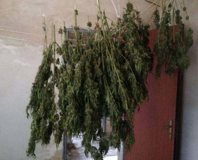 La marijuana rinvenuta a San Nicola Da Crissa