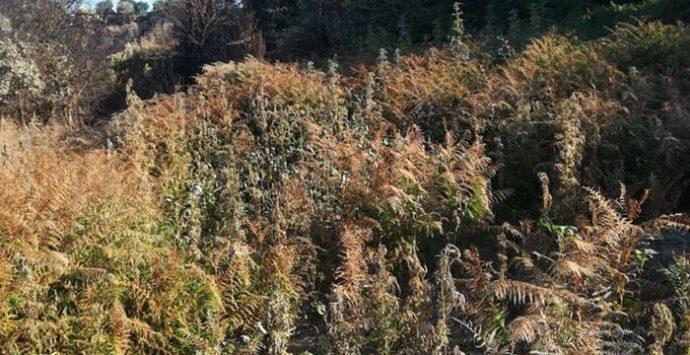 Vallelonga, scoperte e sequestrate 650 piante di marijuana