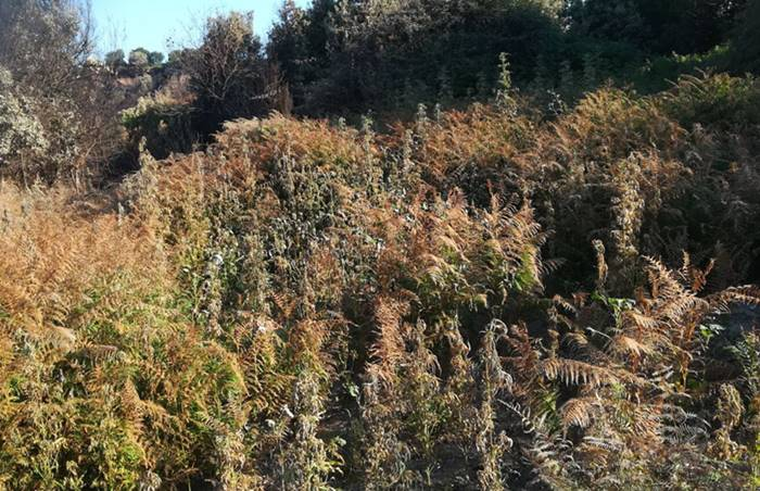 Vallelonga, scoperte e sequestrate 650 piante di marijuana