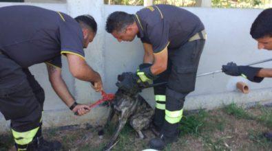 Cappio e filo di ferro per un cane nel Vibonese, libero grazie ai vigili del fuoco