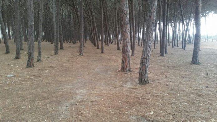 La pineta di località Colamaio a Pizzo