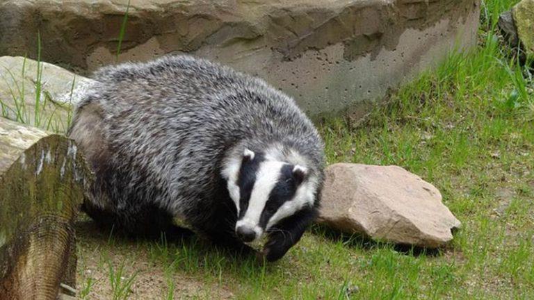 Tasso ferito e curato dal Wwf viene liberato nel Parco delle Serre