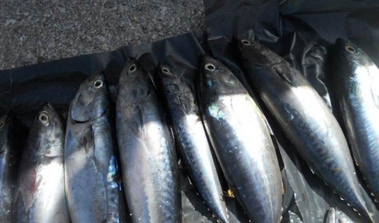 Pesca illegale del tonno rosso, sequestri e sanzioni nel Vibonese