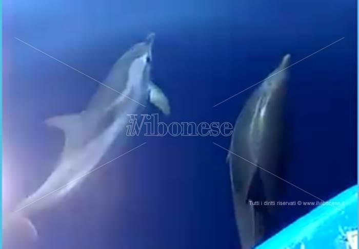 Briatico, la danza dei delfini al largo della costa (VIDEO)