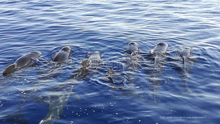 Straordinario passaggio di cetacei davanti alle coste vibonesi (VIDEO)