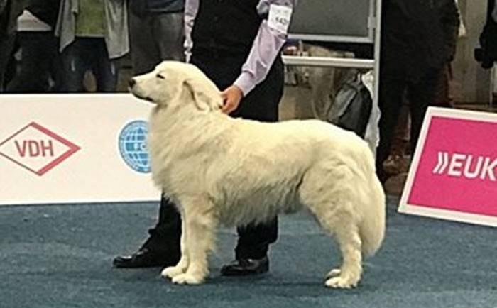 Littorio, il cane vibonese incoronato campione del mondo a Lipsia