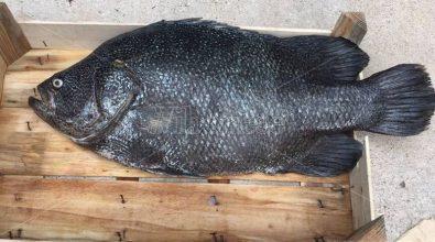 Il mare vibonese riserva nuove sorprese, catturato un rarissimo Pesce Foglia