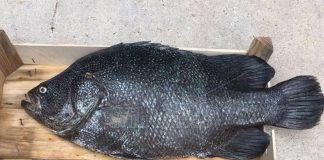 L'esemplare di Pesce Foglia catturato al largo di Vibo Marina