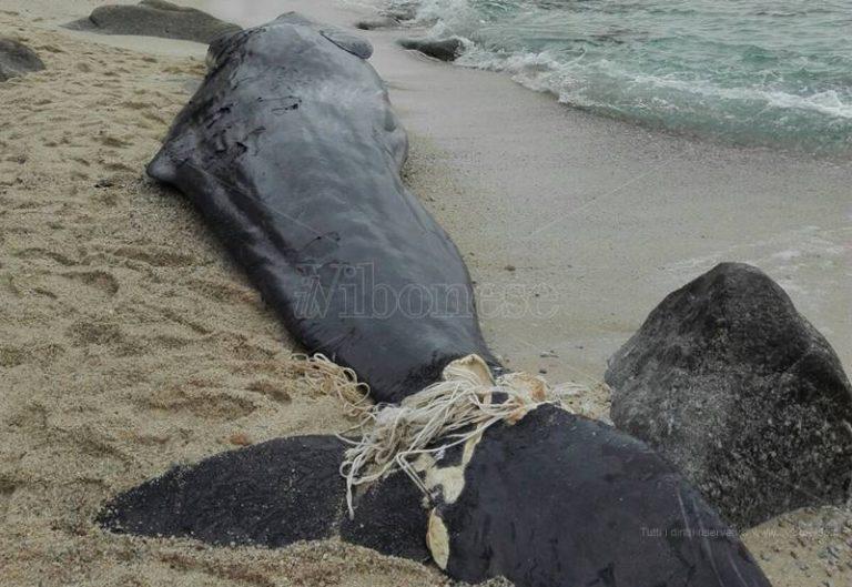 Giovane capodoglio ritrovato sulla spiaggia di Parghelia (FOTO)