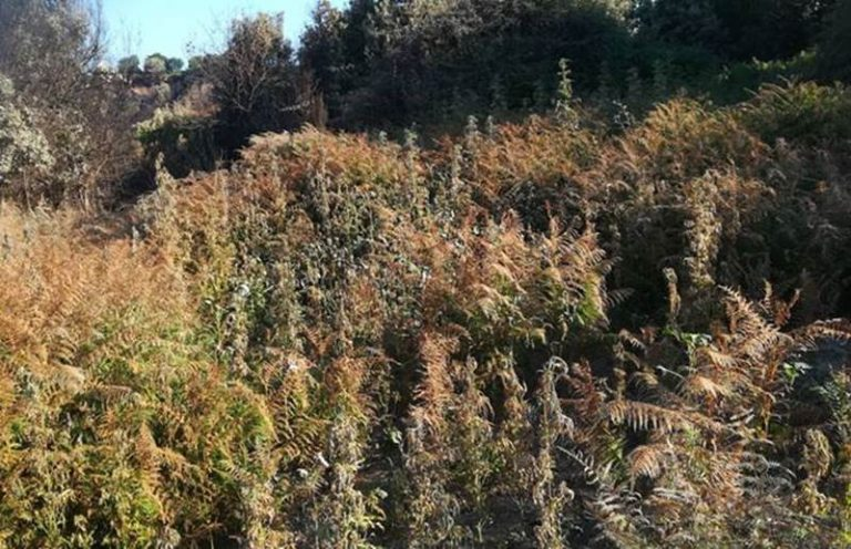 Maxi-piantagione di marijuana nel Vibonese, 35enne resta ai domiciliari