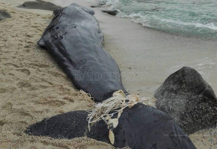 La carcassa del capodoglio sulla spiaggia di Parghelia