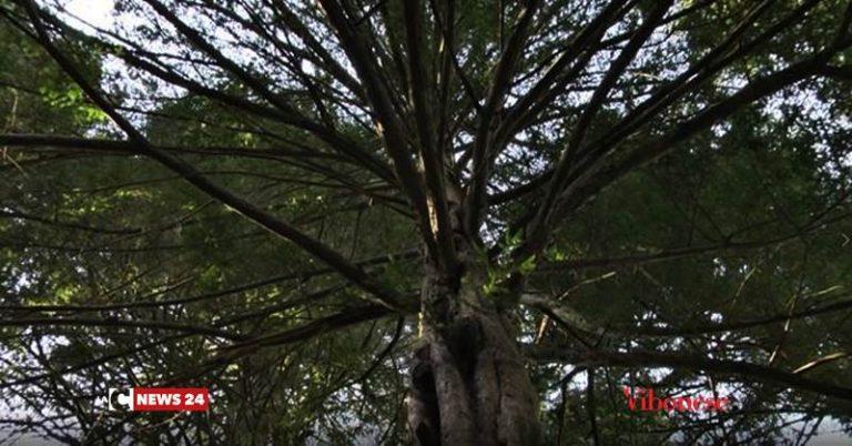 Gli alberi monumentali del Vibonese, giganti che svettano nel cuore delle Serre (VIDEO)