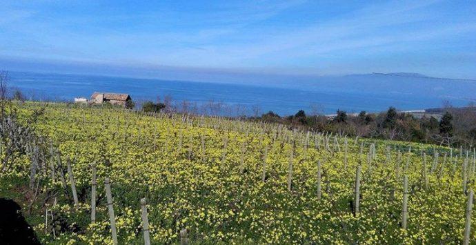 """Un mare di fiori gialli annuncia la primavera: arriva la stagione delle """"susamelle"""""""