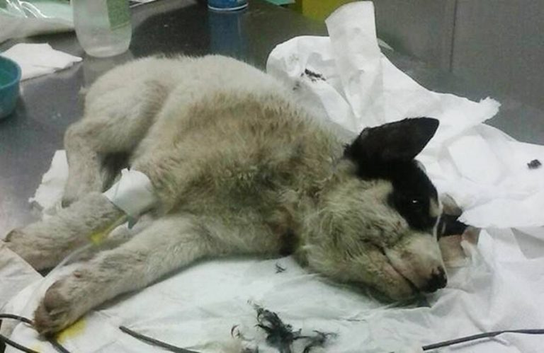 Portosalvo, cucciolo ferito salvato dai Vigili del fuoco