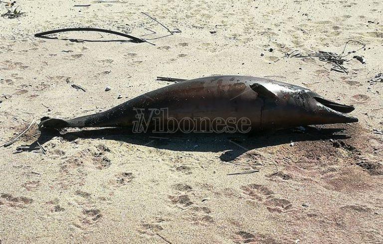 Ancora un delfino trovato morto sulla spiaggia di Pizzo