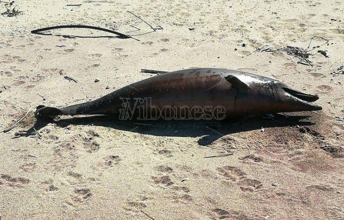 Il giovane delfino trovato a Pizzo