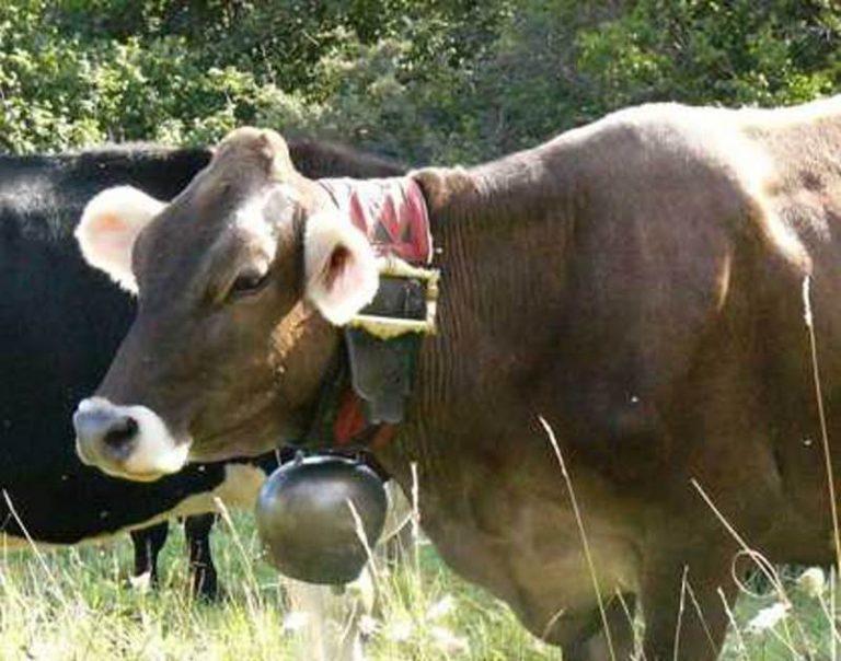 Brucellosi: sequestrato un piccolo allevamento nel Vibonese