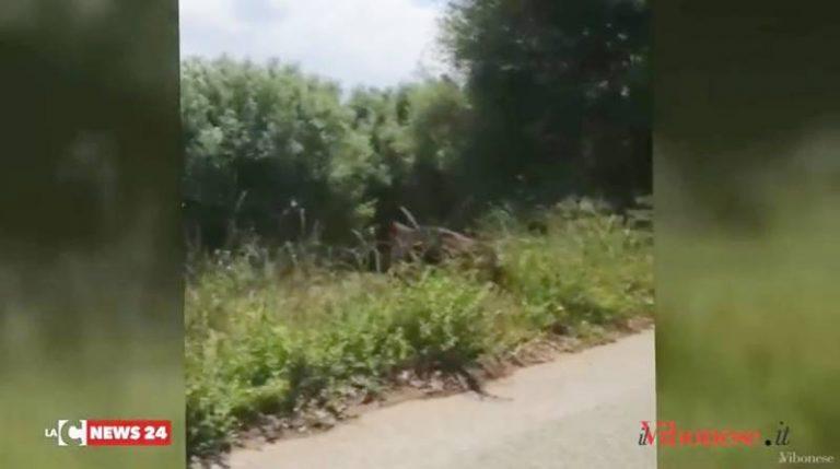 La furia del cinghiale contro il recinto, paura lungo una strada del Vibonese (VIDEO)