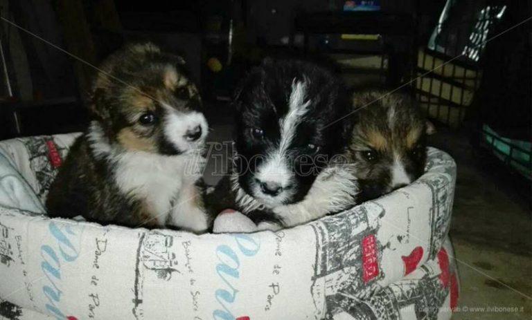 Filogaso, i cuccioli salvati dai carabinieri cercano casa