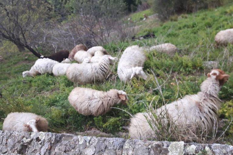 Pascolo abusivo nel castello di Arena, pastore denunciato e gregge sequestrato