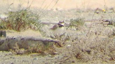 Specie rara nidifica tra le Dune dell'Angitola, si schiudono le uova del Corriere piccolo