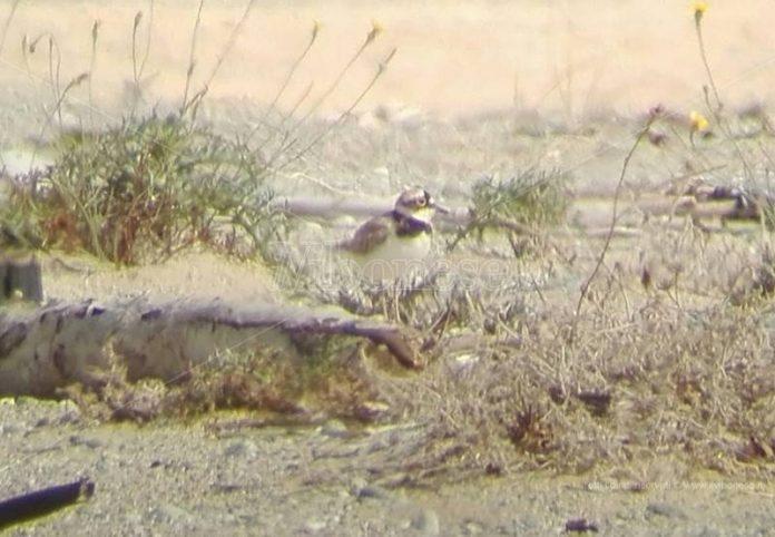 Un esemplare di Corriere piccolo tra le dune dell'Angitola
