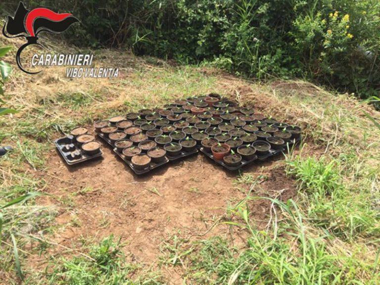Coltivazione di marijuana a Longobardi, due condanne in Cassazione