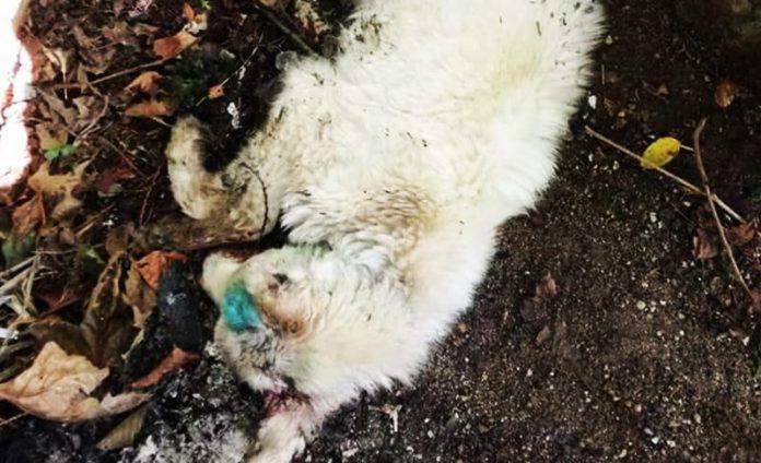 Primula, la cucciola trovata morente a Serra