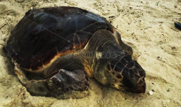 Pizzo, tartaruga ferita da un amo salvata dai bagnanti a Colamaio (VIDEO)