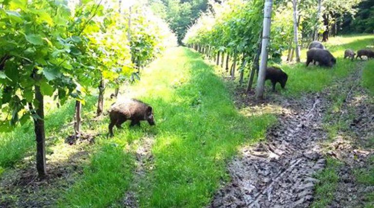 Emergenza cinghiali nel Vibonese: danni agli agricoltori incalcolabili