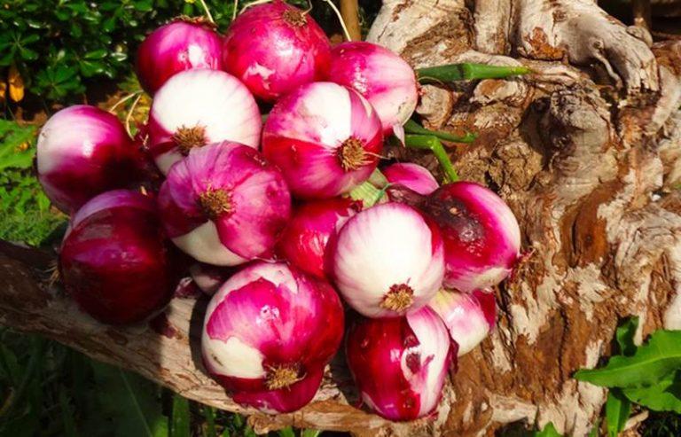 """Cipolla rossa di Tropea """"taroccata"""", la denuncia di Agricoop"""