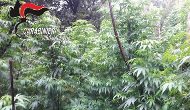 Marijuana: dieci piantagioni scoperte a Cassari di Nardodipace (VIDEO)