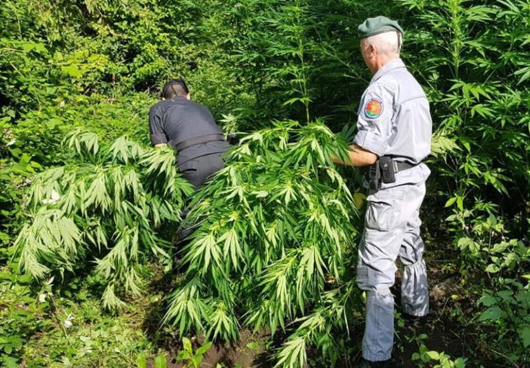 Mongiana, marijuana tra i boschi: rinvenute 500 piante di cannabis